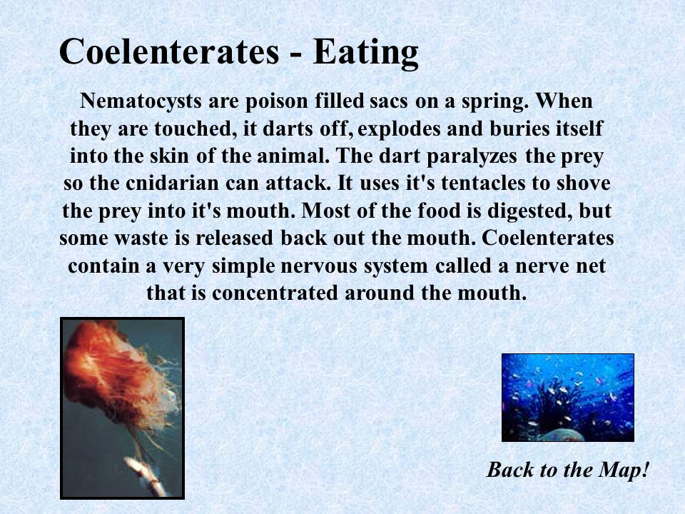 Coelenterates - Eating