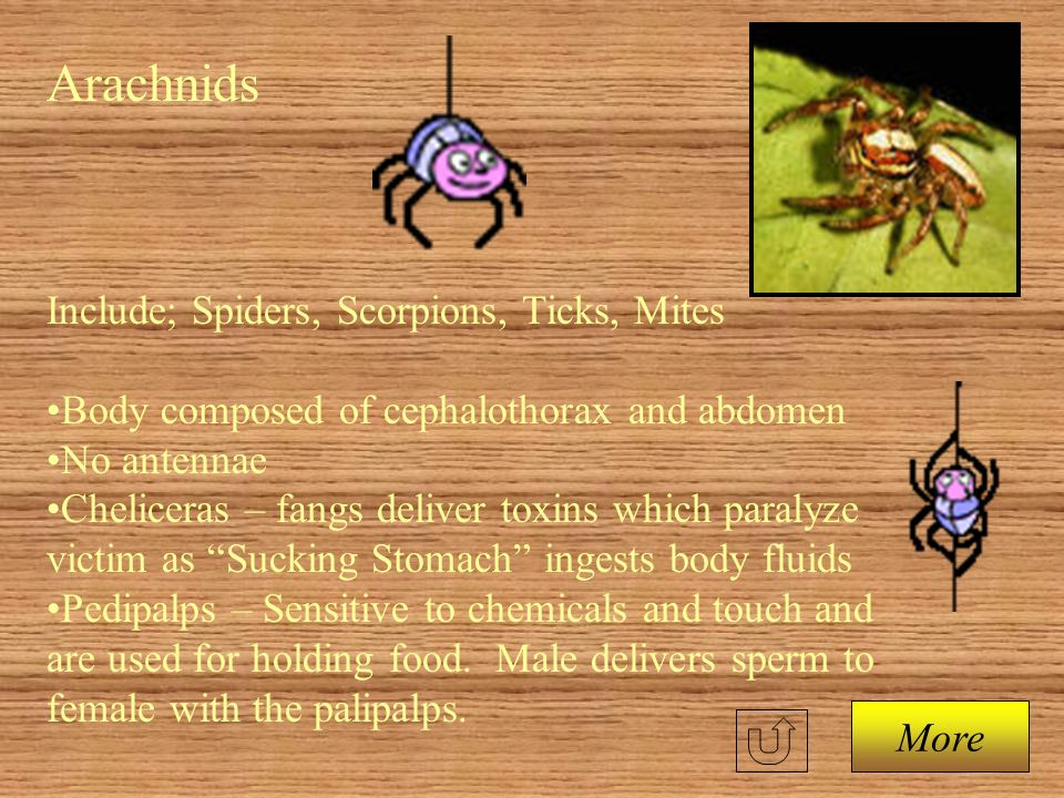 Arachnids Include; Spiders, Scorpions, Ticks, Mites