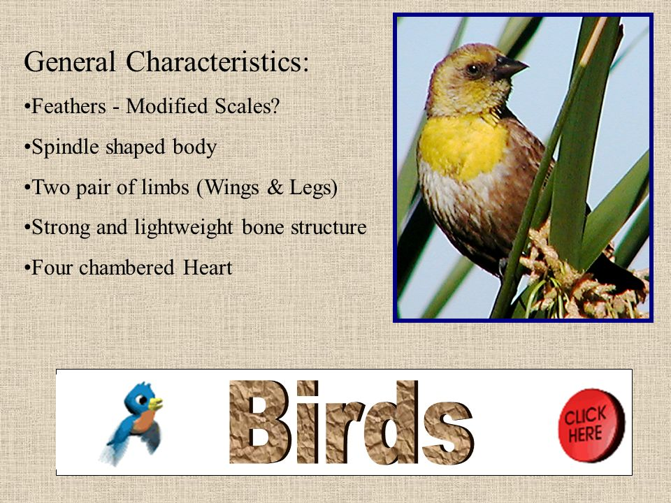 Birds General Characteristics: More Feathers - Modified Scales
