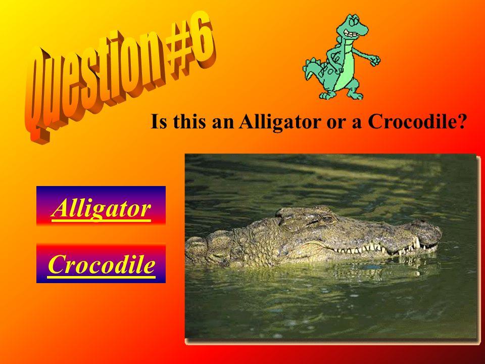 Question #6 Is this an Alligator or a Crocodile Alligator Crocodile
