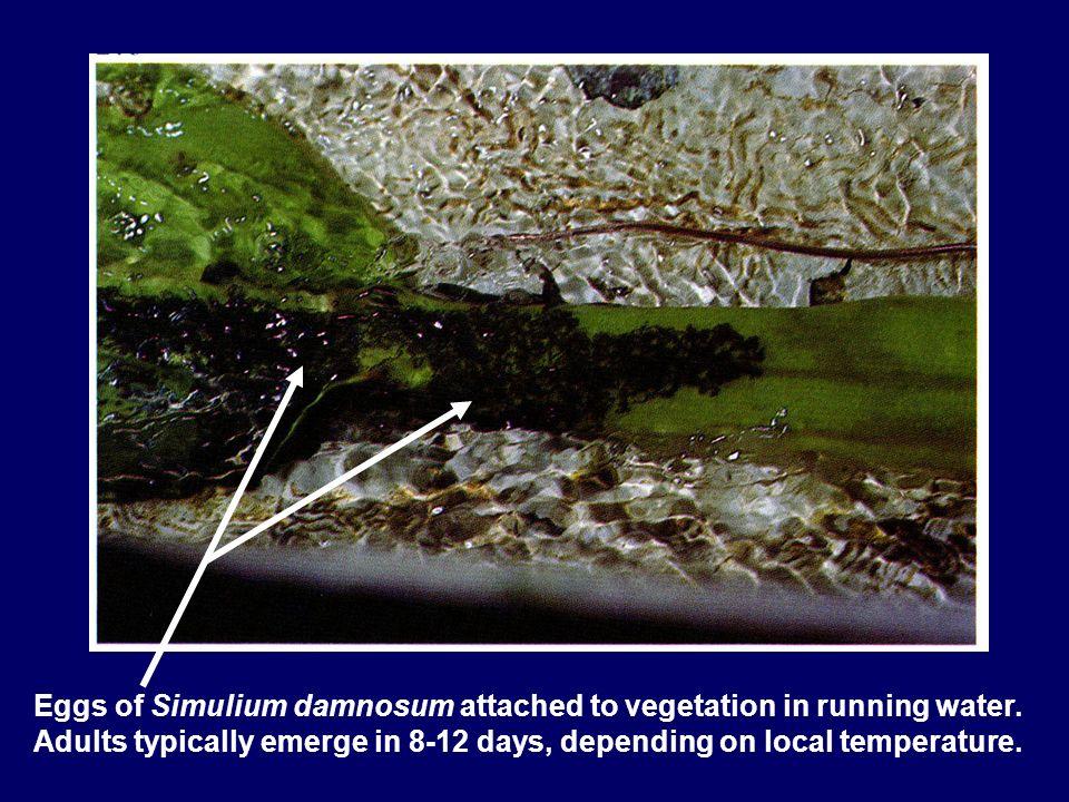Eggs of Simulium damnosum attached to vegetation in running water