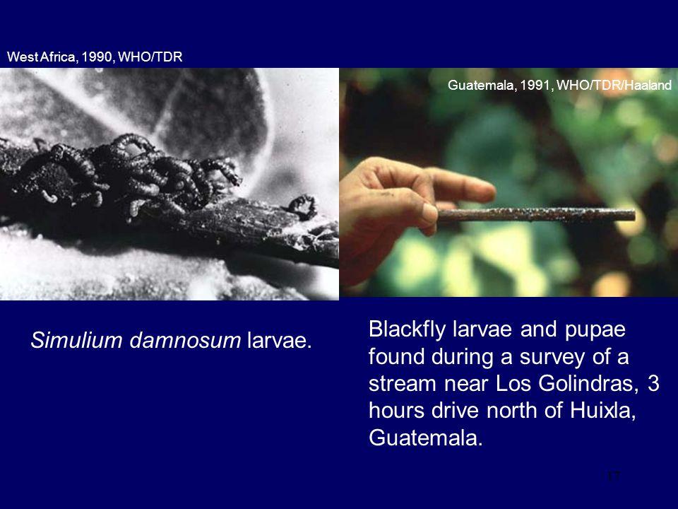 Simulium damnosum larvae.