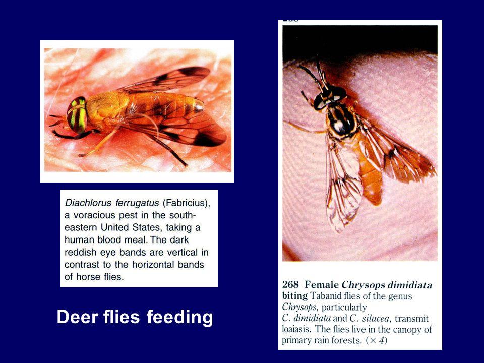 Deer flies feeding