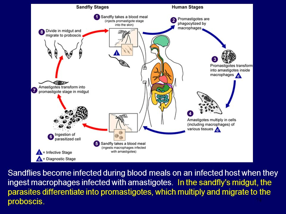 Sandflies become infected during blood meals on an infected host when they ingest macrophages infected with amastigotes. In the sandfly s midgut, the parasites differentiate into promastigotes, which multiply and migrate to the proboscis.