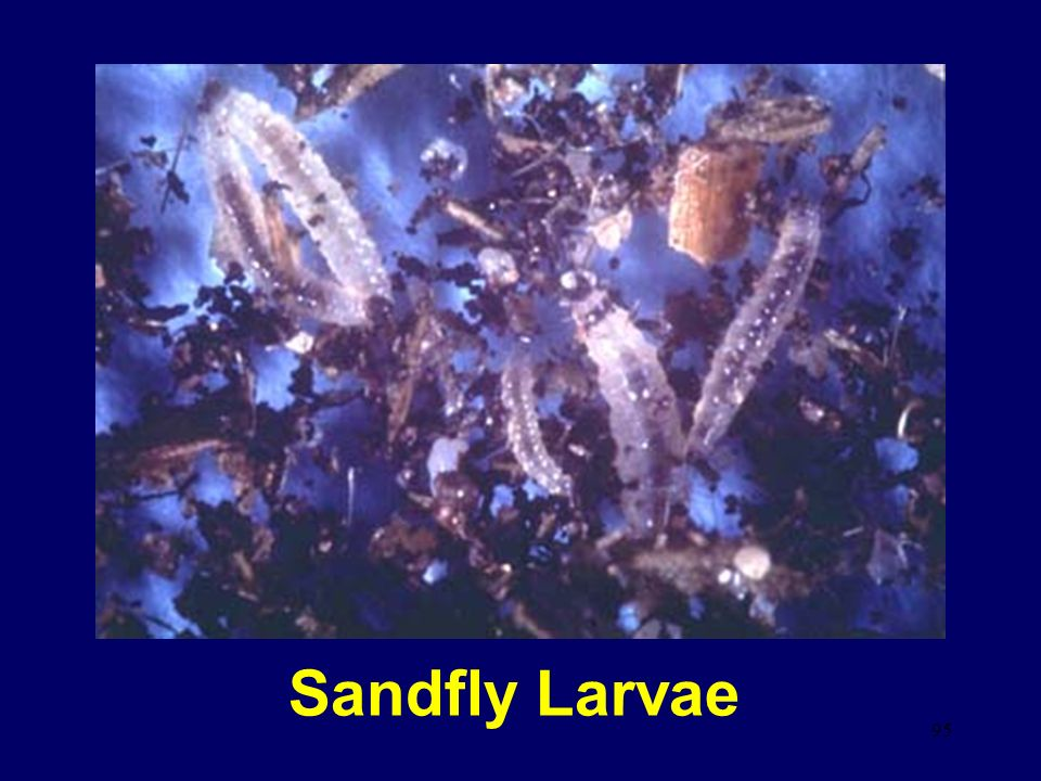 Sandfly Larvae