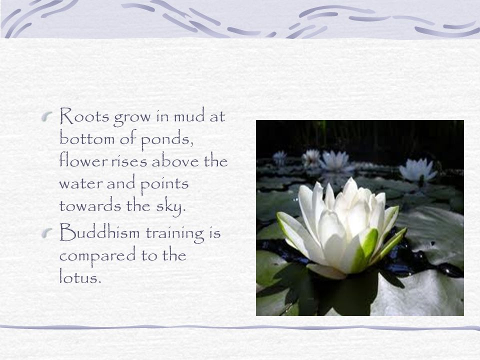 Roots grow in mud at bottom of ponds, flower rises above the water and points towards the sky.