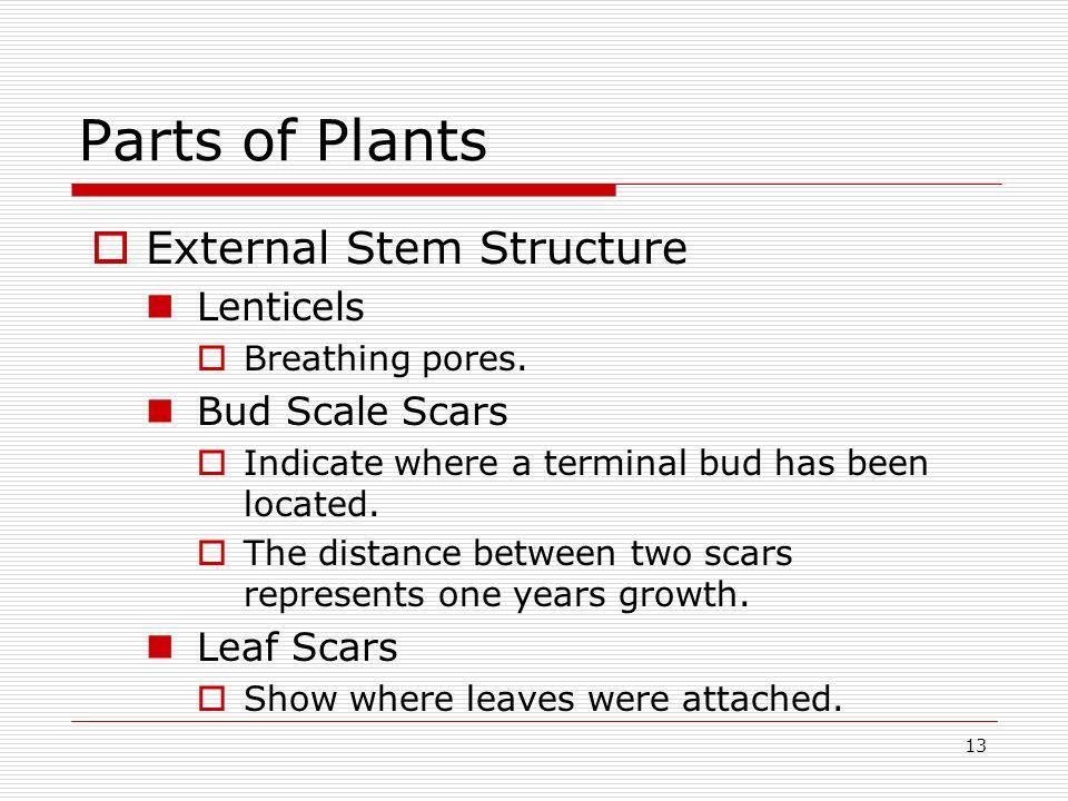 Parts of Plants External Stem Structure Lenticels Bud Scale Scars