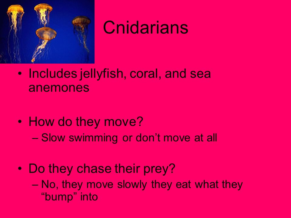 Cnidarians Includes jellyfish, coral, and sea anemones
