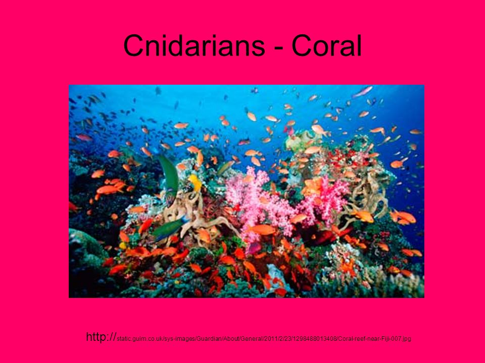 Cnidarians - Coral http://static.guim.co.uk/sys-images/Guardian/About/General/2011/2/23/1298488013408/Coral-reef-near-Fiji-007.jpg.