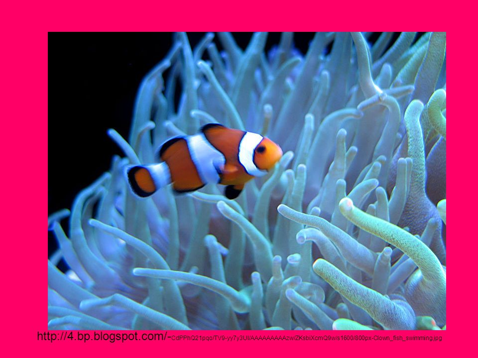http://4.bp.blogspot.com/-CdPPhQ21pqo/TV9-yy7y3UI/AAAAAAAAAzw/ZKsbiXcmQ9w/s1600/800px-Clown_fish_swimming.jpg