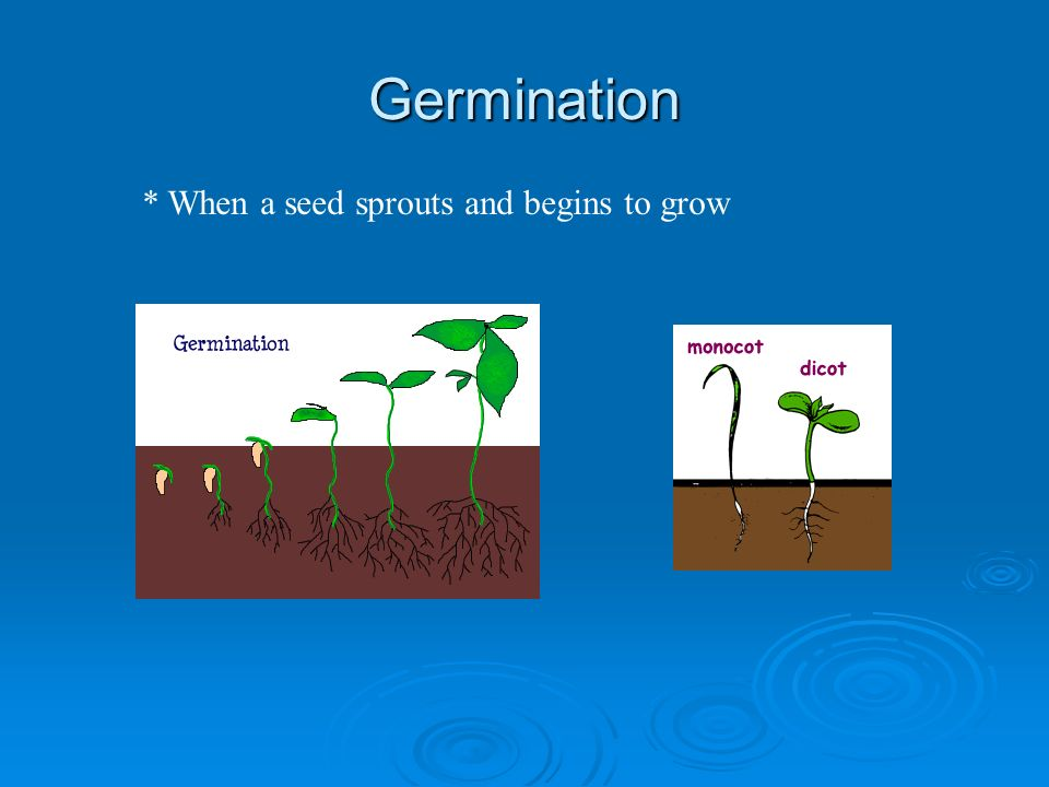 Germination * When a seed sprouts and begins to grow