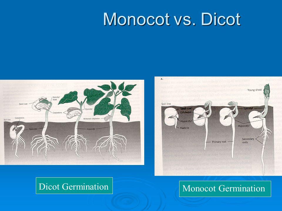 Monocot vs. Dicot Dicot Germination Monocot Germination