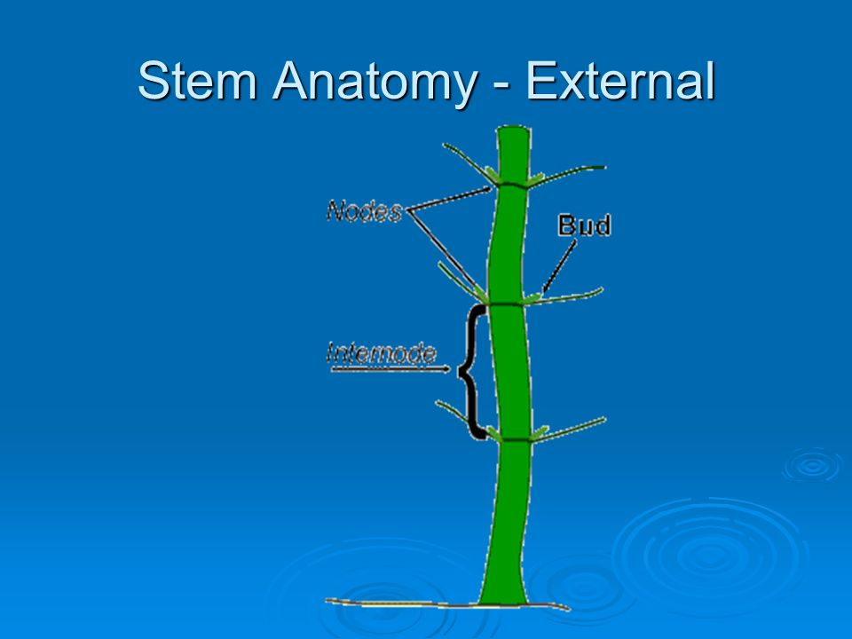Stem Anatomy - External