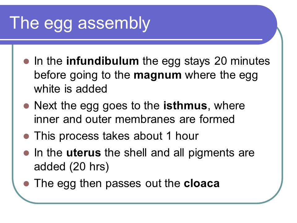 The egg assembly In the infundibulum the egg stays 20 minutes before going to the magnum where the egg white is added.