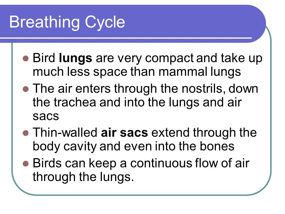Breathing Cycle Bird lungs are very compact and take up much less space than mammal lungs.