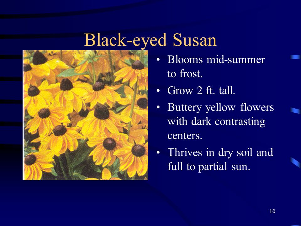 Black-eyed Susan Blooms mid-summer to frost. Grow 2 ft. tall.