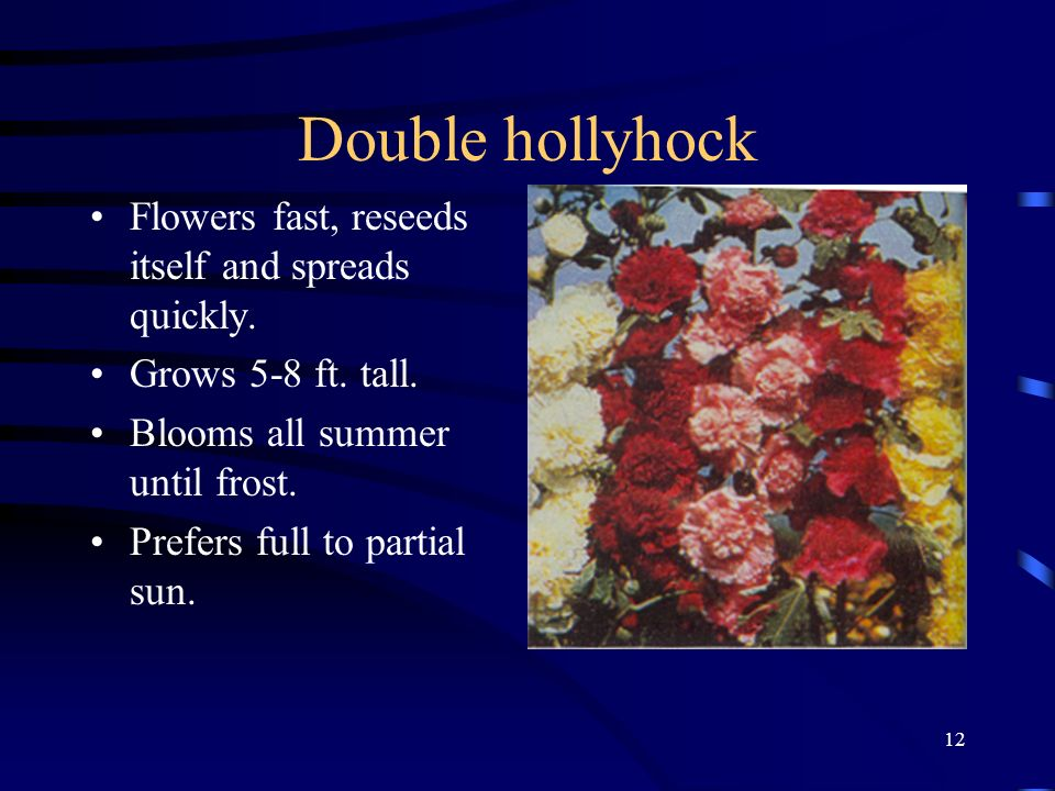 Double hollyhock Flowers fast, reseeds itself and spreads quickly.