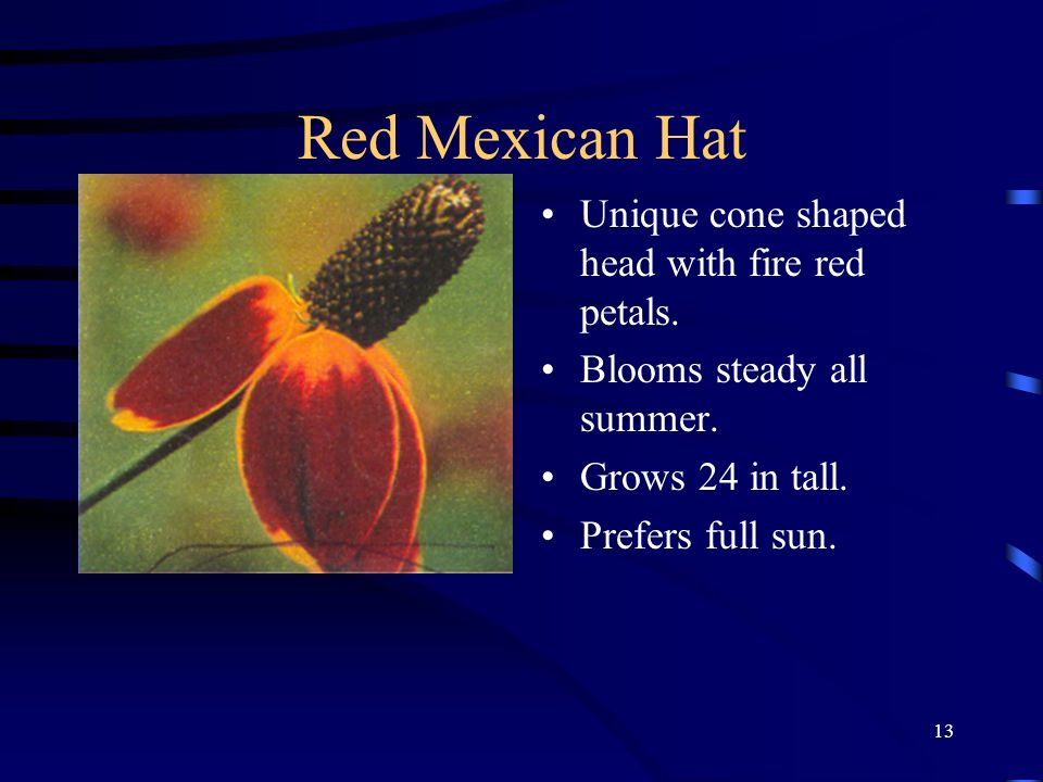 Red Mexican Hat Unique cone shaped head with fire red petals.