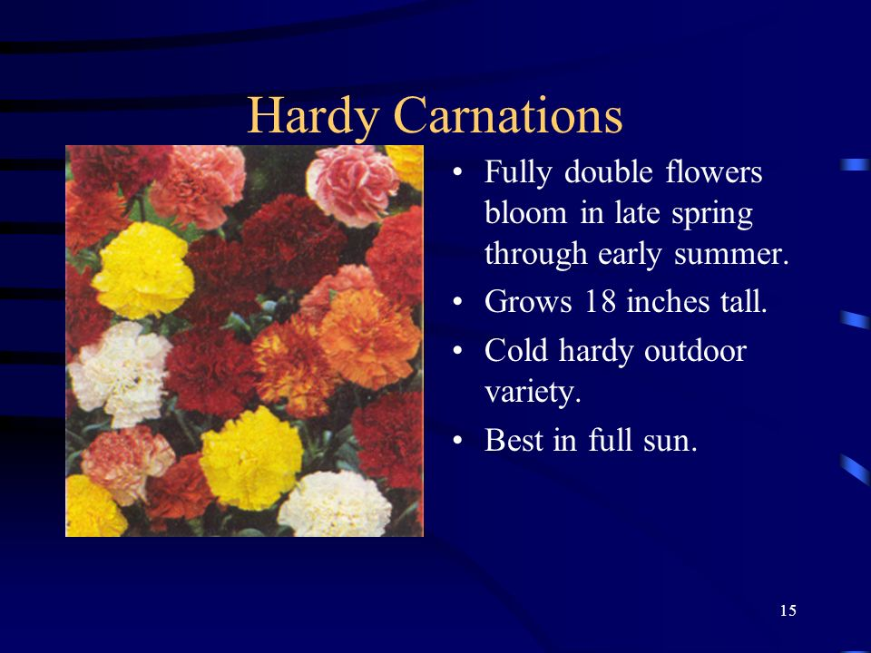 Hardy Carnations Fully double flowers bloom in late spring through early summer. Grows 18 inches tall.