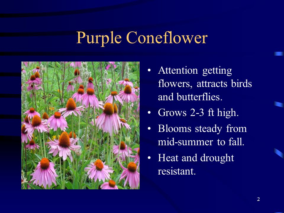 Purple Coneflower Attention getting flowers, attracts birds and butterflies. Grows 2-3 ft high. Blooms steady from mid-summer to fall.