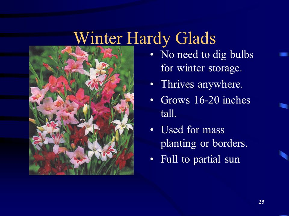 Winter Hardy Glads No need to dig bulbs for winter storage.