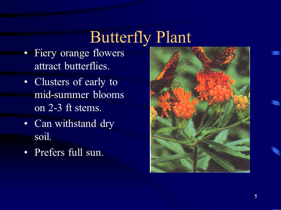 Butterfly Plant Fiery orange flowers attract butterflies.