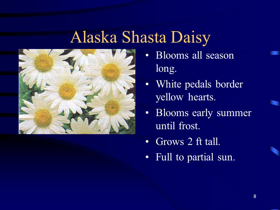 Alaska Shasta Daisy Blooms all season long.
