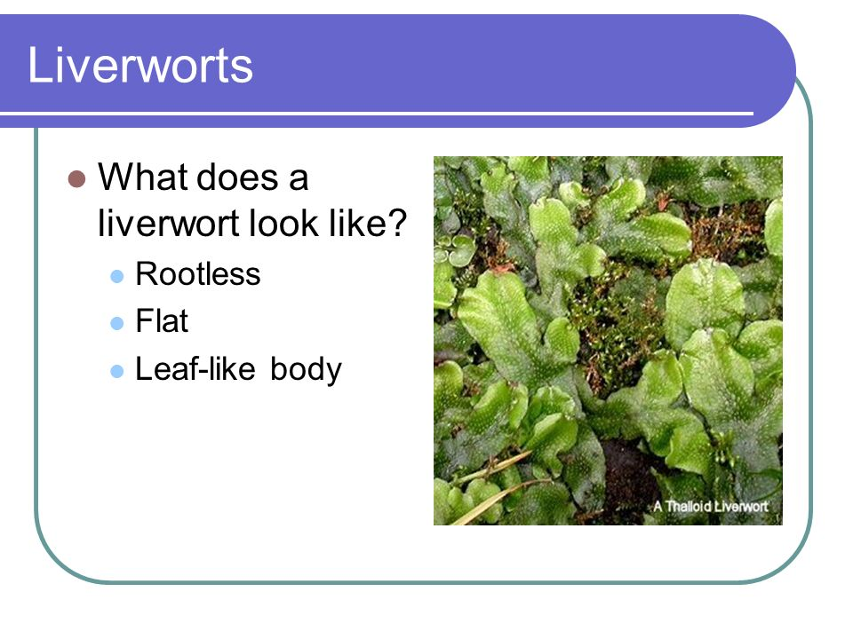 Liverworts What does a liverwort look like Rootless Flat