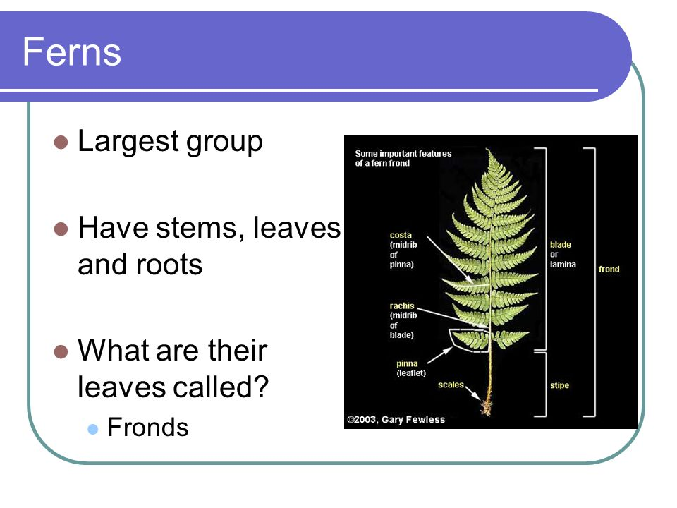 Ferns Largest group Have stems, leaves, and roots