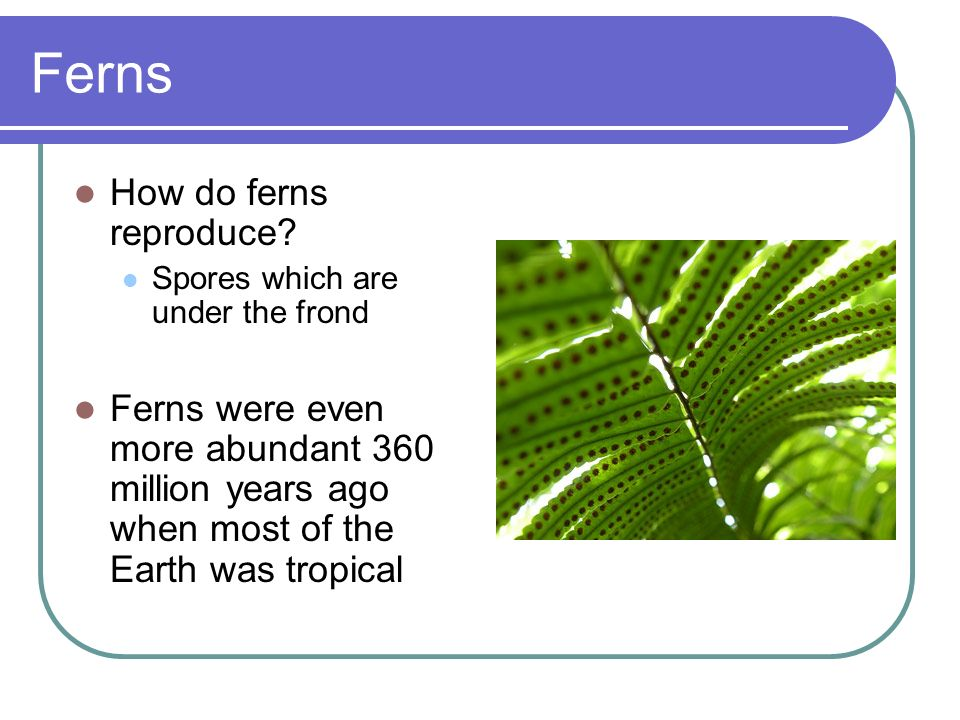 Ferns How do ferns reproduce