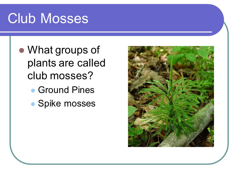 Club Mosses What groups of plants are called club mosses Ground Pines