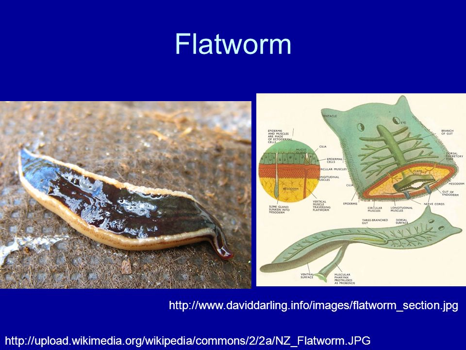 Flatworm http://www.daviddarling.info/images/flatworm_section.jpg