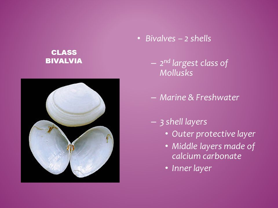 2nd largest class of Mollusks