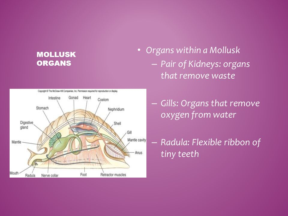 Organs within a Mollusk Pair of Kidneys: organs that remove waste