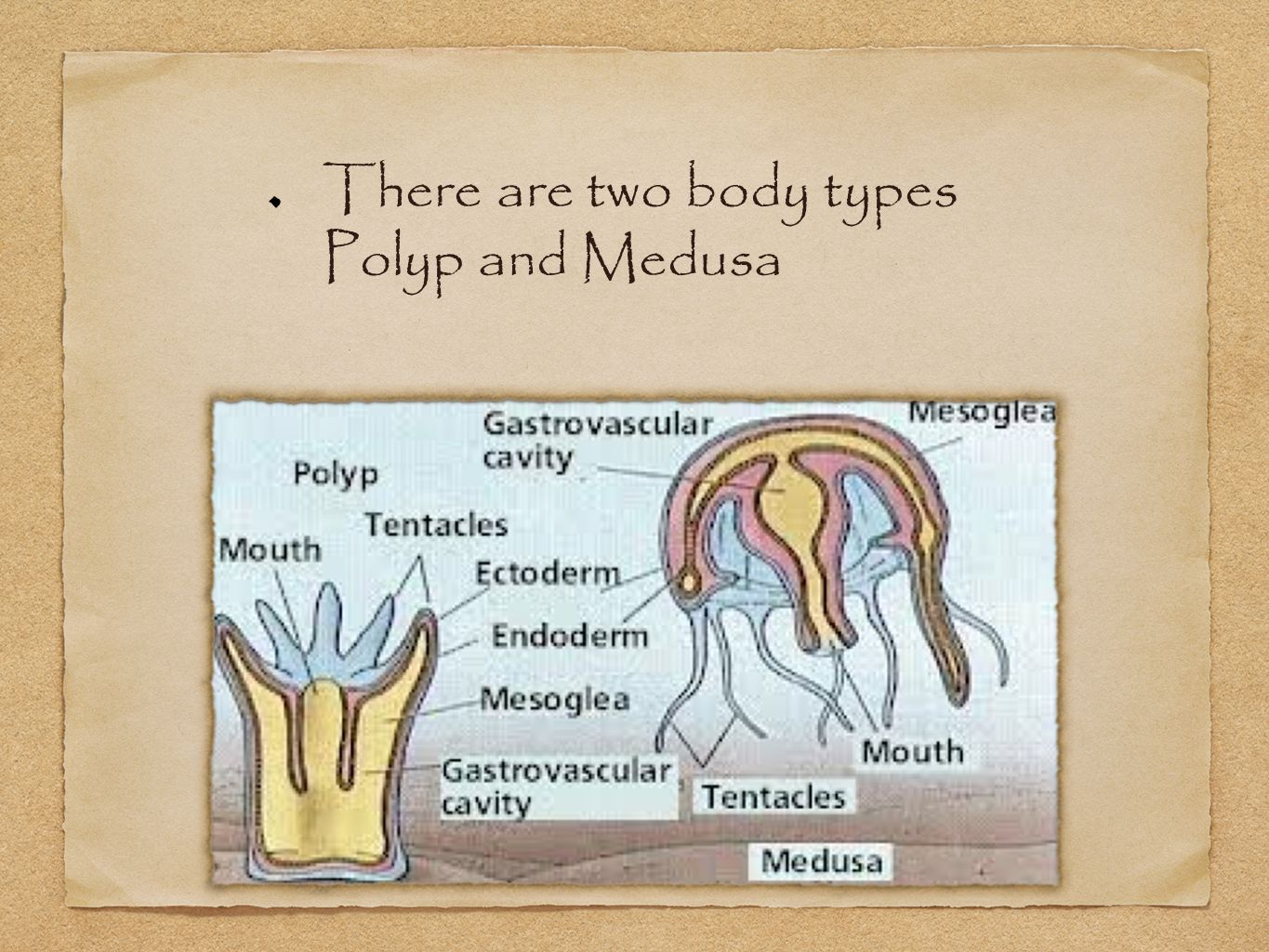 There are two body types Polyp and Medusa