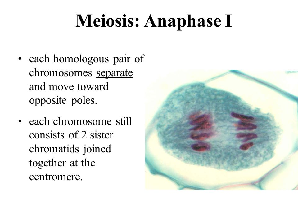 Meiosis: Anaphase I each homologous pair of chromosomes separate and move toward opposite poles.