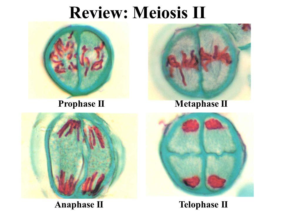 Review: Meiosis II Prophase II Metaphase II Anaphase II Telophase II