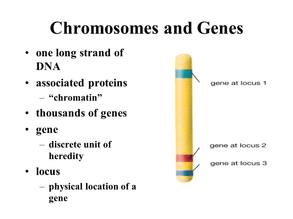 Chromosomes and Genes one long strand of DNA associated proteins
