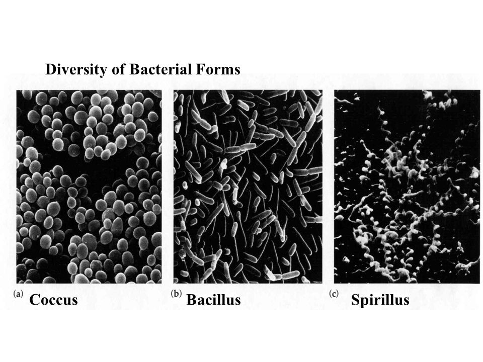 Diversity of Bacterial Forms