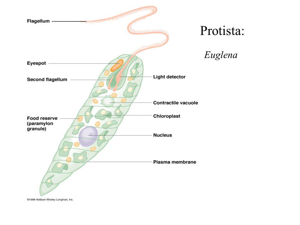 Euglena Protista: