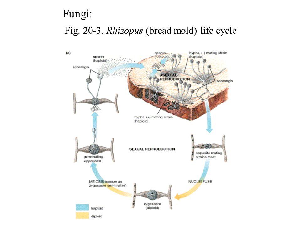 Fig. 20-3. Rhizopus (bread mold) life cycle