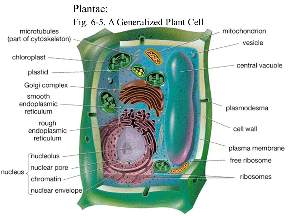 Fig. 6-5. A Generalized Plant Cell