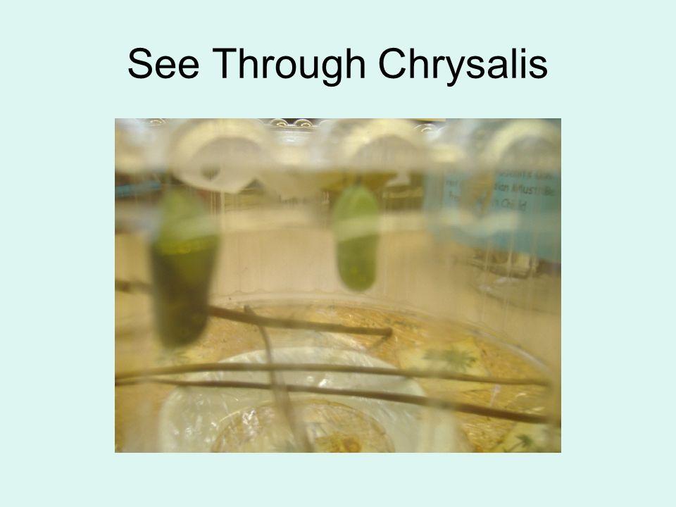 See Through Chrysalis