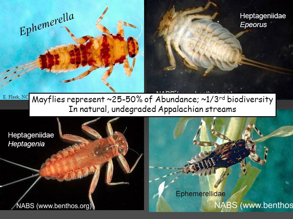 Heptageniidae Epeorus. Ephemerella. E. Fleek, NC DWQ. Mayflies represent ~25-50% of Abundance; ~1/3rd biodiversity.