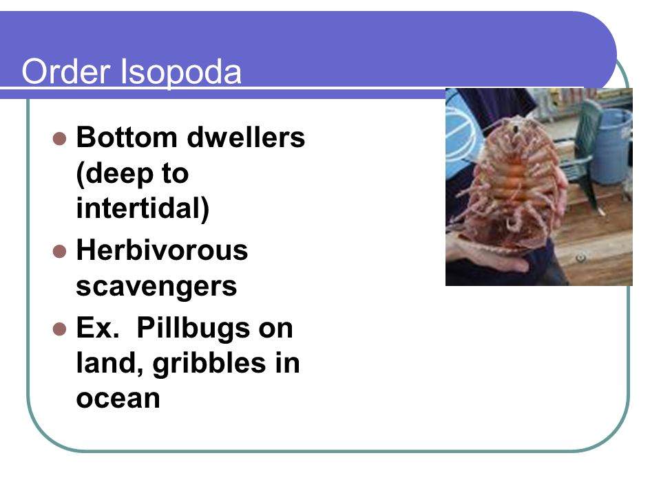 Order Isopoda Bottom dwellers (deep to intertidal)