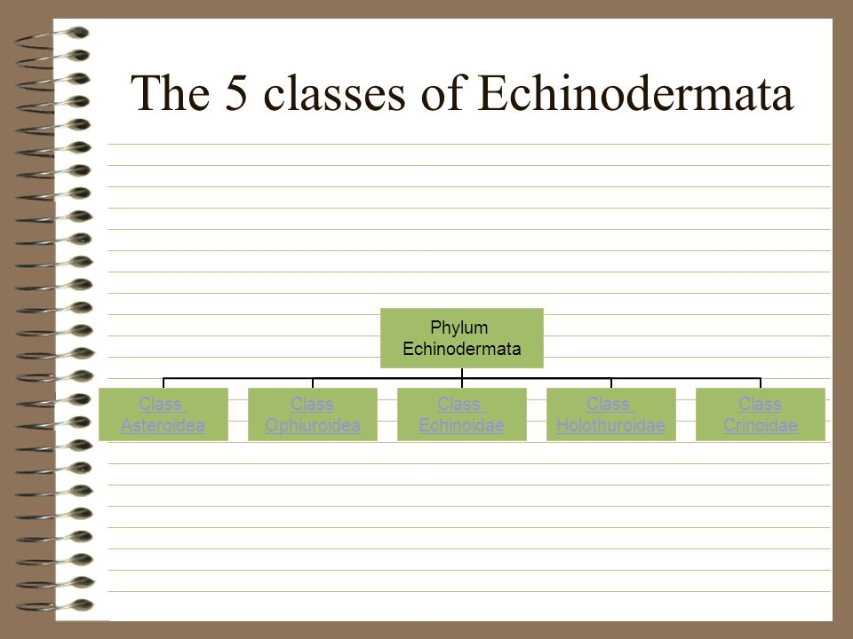 The 5 classes of Echinodermata