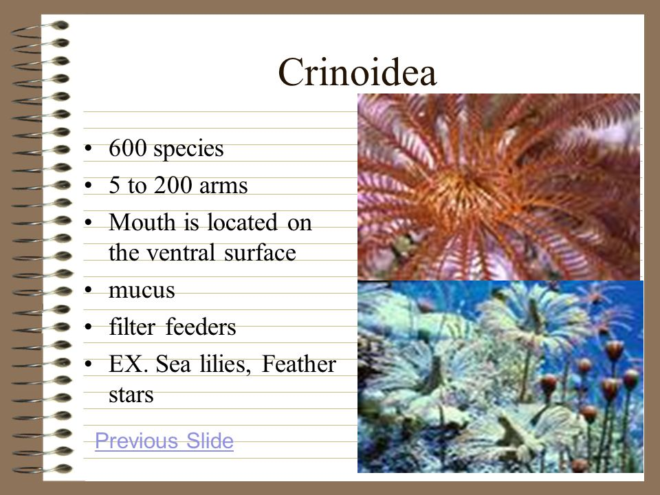 Crinoidea 600 species 5 to 200 arms