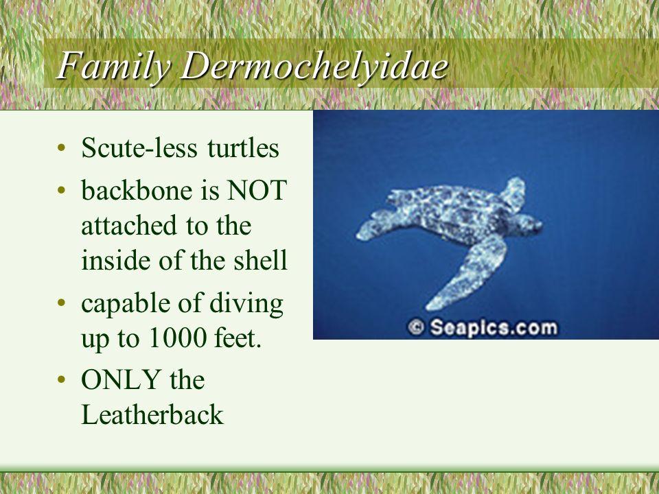 Family Dermochelyidae