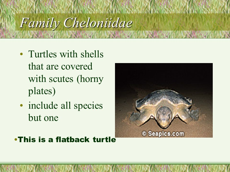 Family Cheloniidae Turtles with shells that are covered with scutes (horny plates) include all species but one.