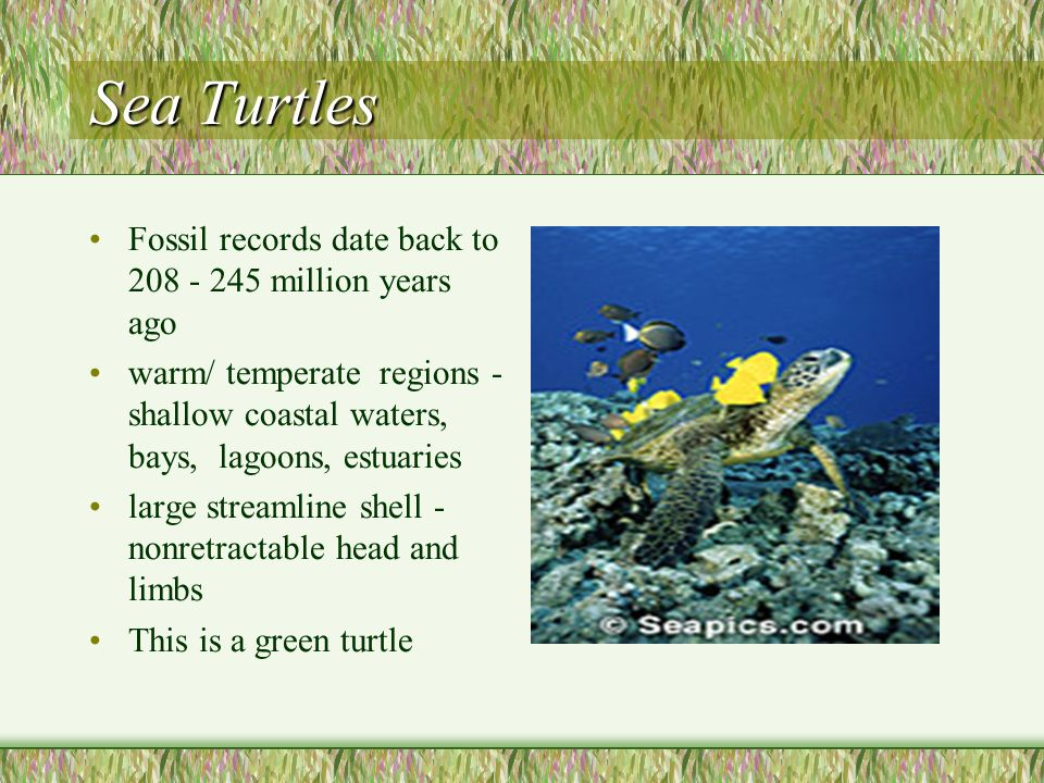 Sea Turtles Fossil records date back to 208 - 245 million years ago